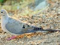 Gołębiak długosterny