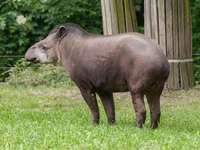 Tapir americano