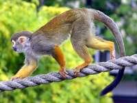 Veverița Sajmiri