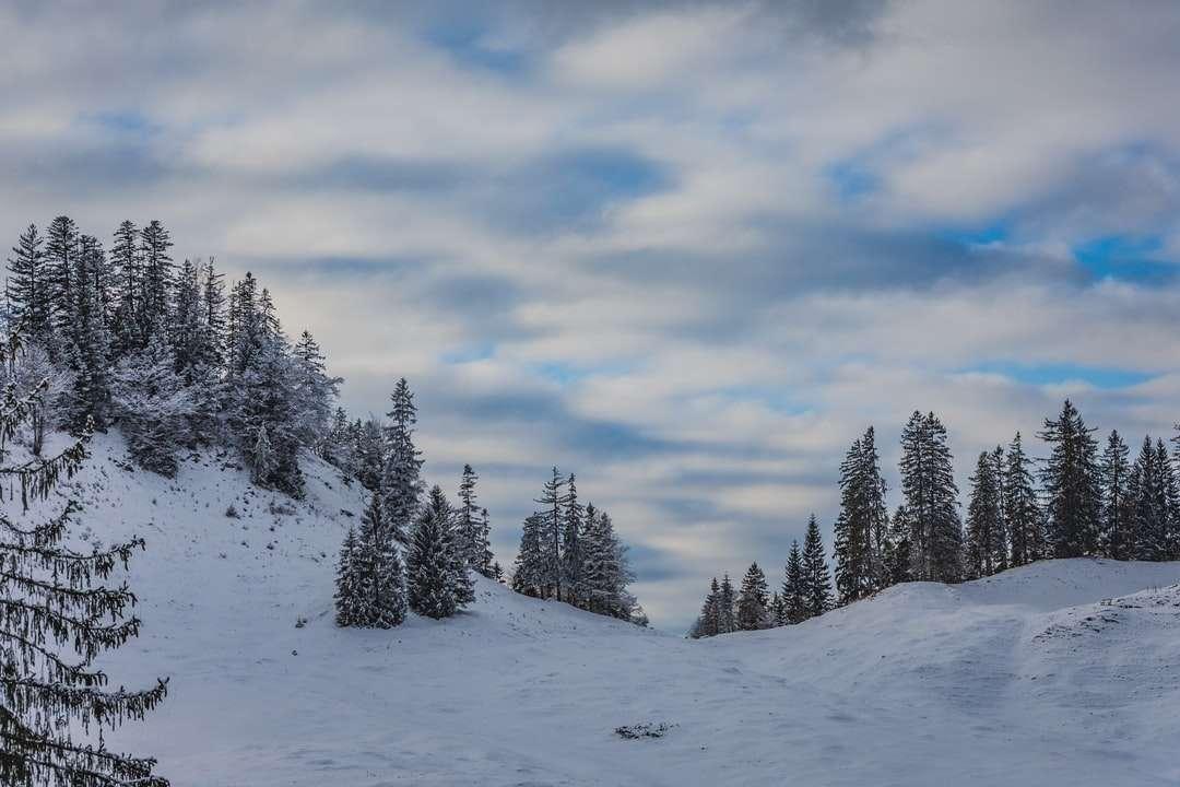 pokryte śniegiem sosny pod zachmurzonym niebem w ciągu dnia