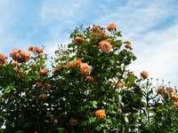 оранжеви цветя със зелени листа под синьо небе