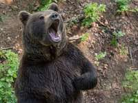 niedźwiedź dla drugiego królestwa