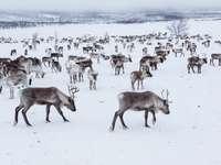 turma de reni din finlanda