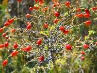 červené kulaté plody na stromě během dne