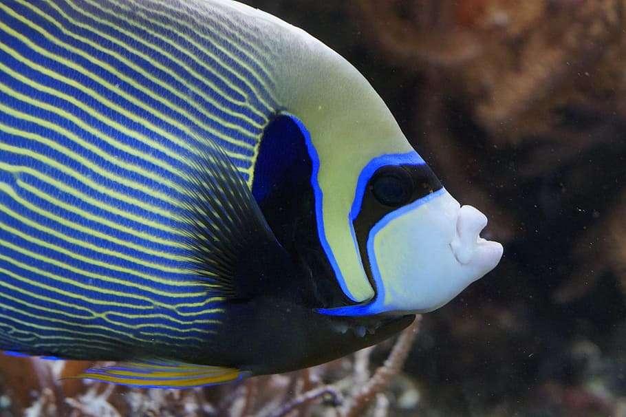 anjo imperador - O peixe-anjo-imperador é uma espécie de actinopterygium perciforme pomacantídeo que vive nos recifes de coral do Indo-Pacífico. Destaca-se por suas cores atraentes e sua notável transformação d (19×13)