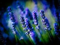 lila virágrügyek dönthető eltolású lencsében