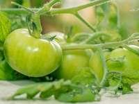 groene tomaat op witte tafel
