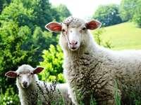 δύο πρόβατα