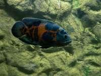 peixes azuis e laranja na água