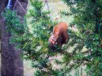 brown squirrel on green pine tree
