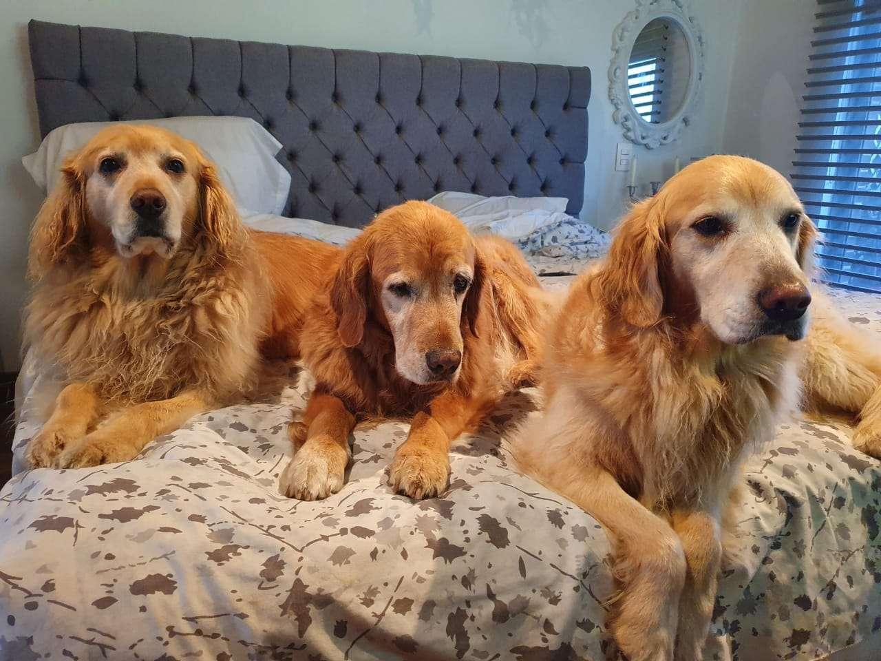 3 perros felices - Hay tres golden retriever muy felices (6×5)