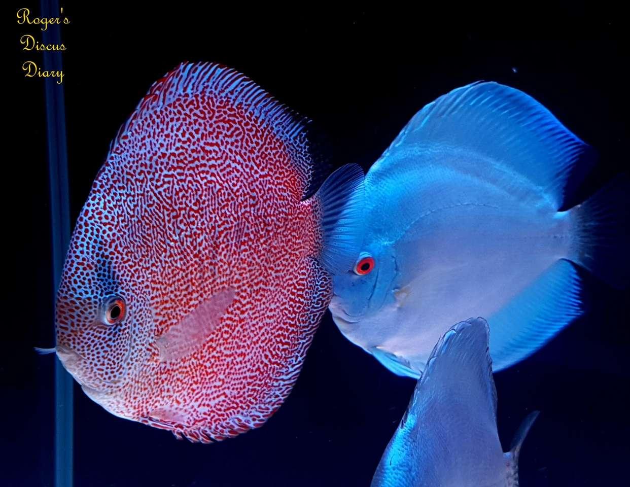 peixe disco - O peixe disco é um gênero de peixe da família dos ciclídeos. É nativo das áreas baixas do rio Amazonas e seus afluentes, pertence à família dos ciclídeos de origem sul-americana. São geralme (20×16)