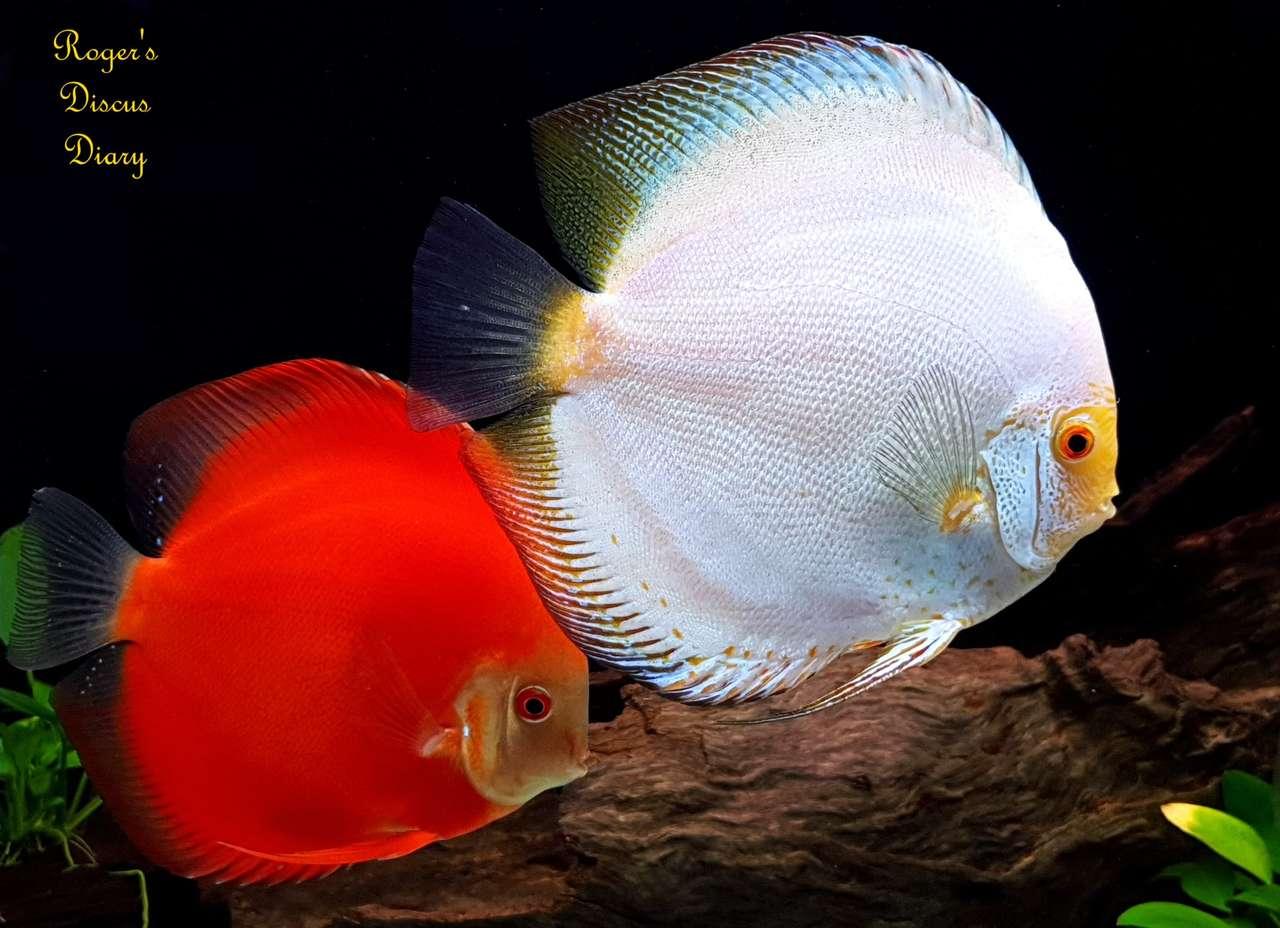 peixe disco - O peixe disco é um gênero de peixe da família dos ciclídeos. É nativo das áreas baixas do rio Amazonas e seus afluentes, pertence à família dos ciclídeos de origem sul-americana. Geralmente s (20×15)