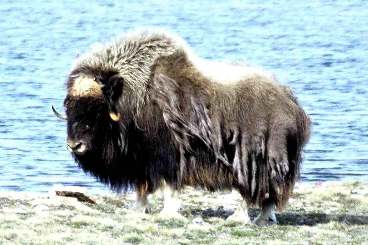 Εθνικό Πάρκο Dovrefjell - Εθνικό Πάρκο Dovrefjell-Sunndalsfjella (Nor. Dovrefjell-Sunndalsfjella nasjonalpark) - ένα εθνικό πάρκο στη Νορβηγία (6×4)