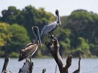 Šedý pelikán posazený na hnědé větvi stromu během dne