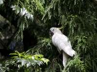 Gul-breasted kakadua