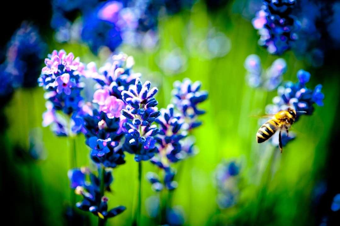 медоносна пчела, кацнала на лилаво цвете в близък план - медоносна пчела, кацнала на лилаво цвете при заснемане отблизо през деня. Зашеметяващ лавандулов полеви пейз (18×12)