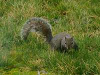 esquilo cinza na grama verde durante o dia
