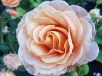 rosedrottning av blommor