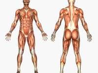 Lichaamsspieren