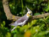 Papoušek víla