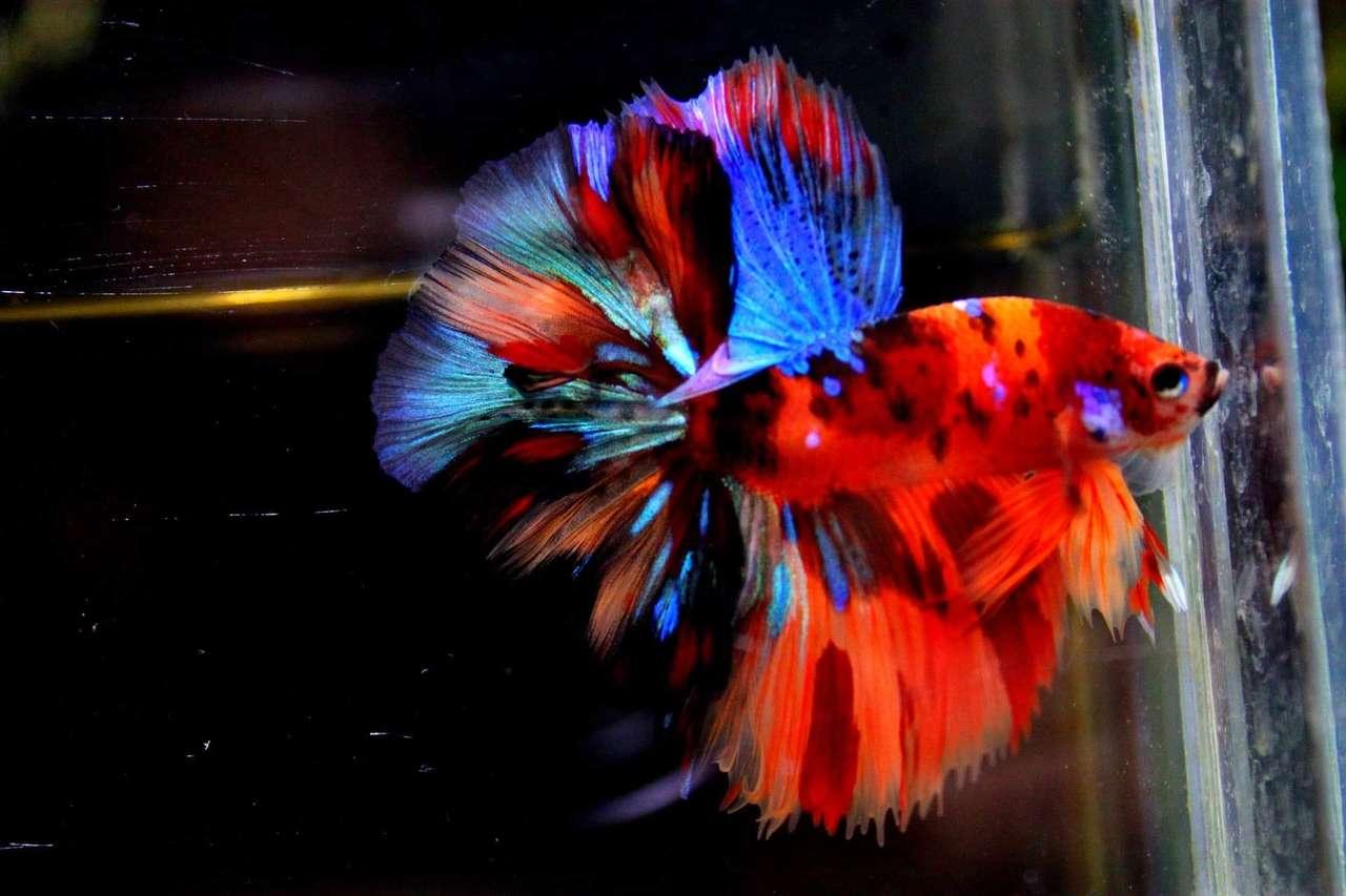 peixe Betta - O peixe lutador siamês ou simplesmente peixe lutador também conhecido como peixe betta, é uma espécie de peixe de água doce da família osphronemidae da ordem Perciformes, é nativo do Sudeste As (19×13)