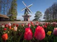 Nizozemsko - tulipány, větrný mlýn
