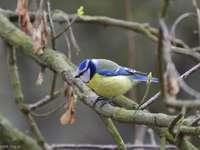 modrá sýkorka