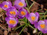лилави цветя върху кафява почва