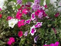 Balkong i blommor