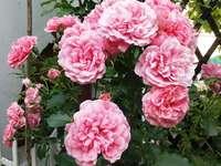 Цветните рози винаги красиви