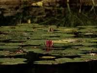 fiore di loto rosa sull'acqua