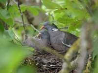 Waldtauben im Nest