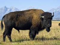 bison in the mountains