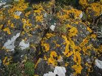 жълти и бели листа върху сива скала