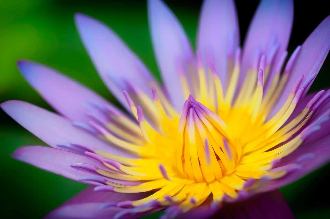 floare galbenă și violetă în macro shot - Aproape de un nufer (7×5)