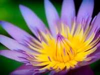 flor amarela e roxa em macro