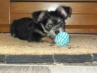 York chien Miki