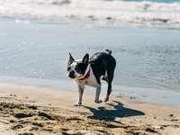 cachorro de casaco curto preto e branco na praia durante o dia
