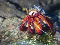 red and white crab on gray rock