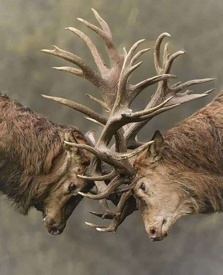 majestic - fight of two males for supremacy (16×20)