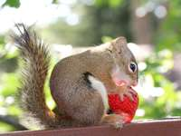 esquilo marrom comendo morango vermelho