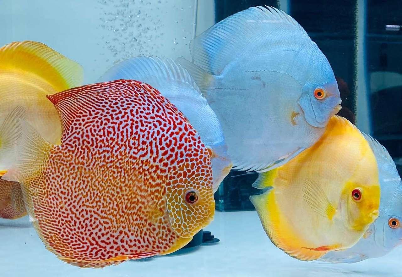 coleção de discos - Os peixes discus são originários do rio Amazonas, uma das variedades com maior cor (20×14)