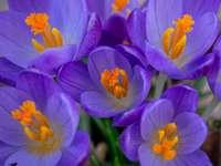 Fleurs de crocus pourpres en fleurs pendant la journée