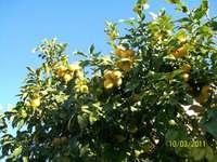 Lemons in Sardinia