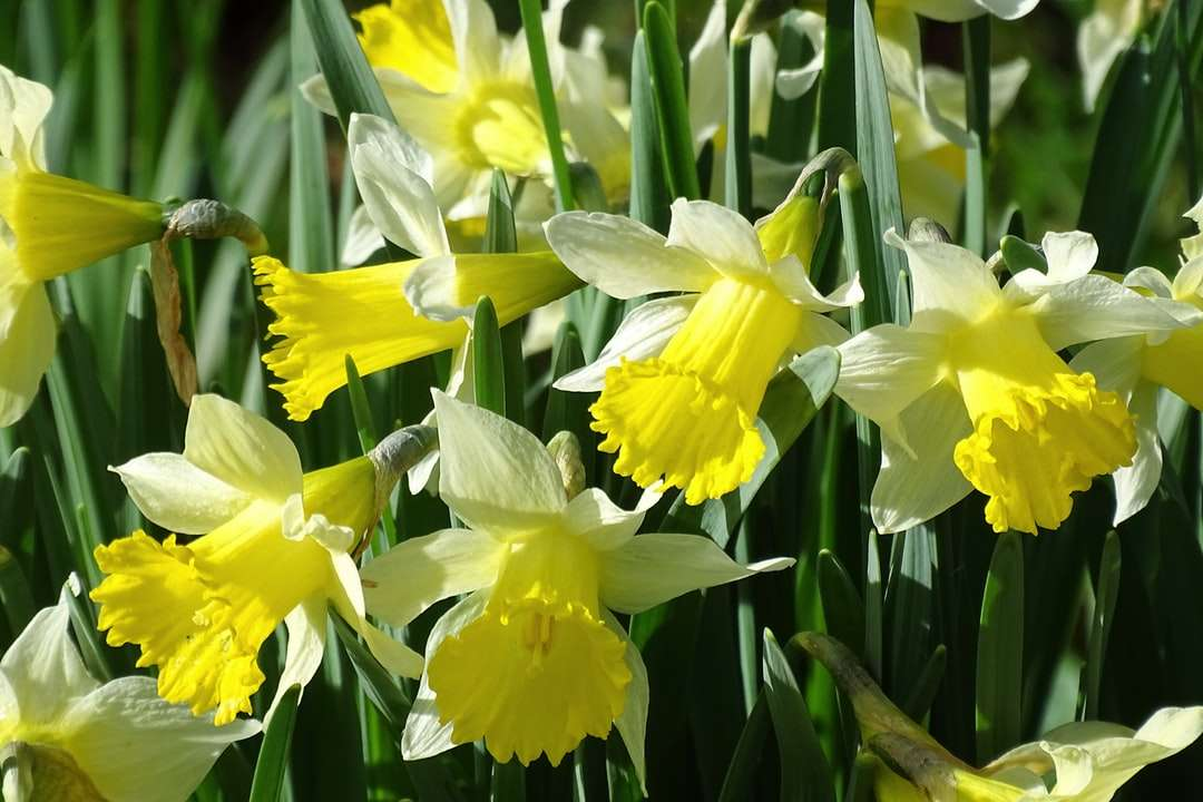 yellow daffodils in bloom during daytime - Daffodils in bloom a sure sign that Sprung is on its way.  Kingston Lacy House and Gardens.  . Pamphill, UK (15×10)