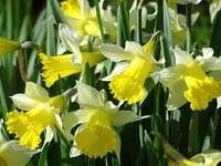 żółte żonkile kwitną w ciągu dnia