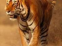 samotny tygrys