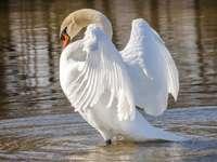 лебед във водата