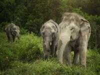 éléphants en asie